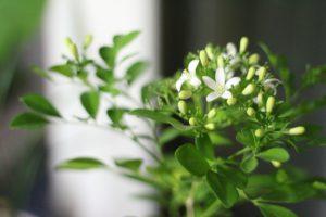 Planta Jazmín