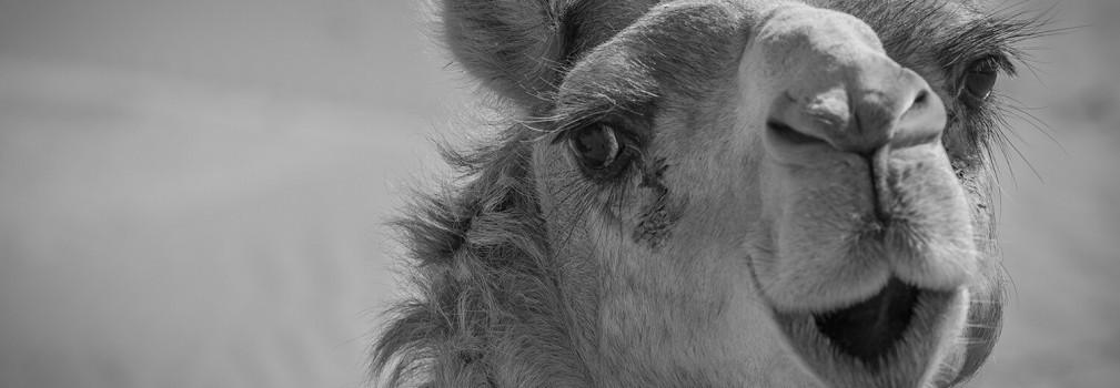 Lã de camelo