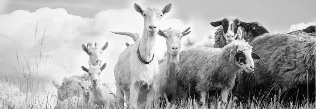 Lã australiana